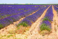 Plant of lavender. Summer field with plant of lavender stock photos