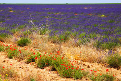 Plant of lavender in sunny day. Summer field with plant of lavender in sunny day royalty free stock photos