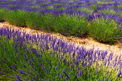 Plant of lavender. In sunny summer day stock image