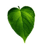Plant leaf Stock Photography
