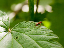 Plant leaf ant macro close up detail Royalty Free Stock Photos