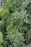 Plant leaf from artemisia absinthium wermut herbal flower stock images