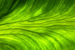 Plant Leaf Background Royalty Free Stock Images