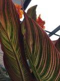 Plant, Leaf, Canna Family, Flora