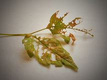 plant leaf destroyed by bug royalty free stock image