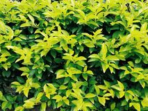 Plant, Leaf, Evergreen, Groundcover Stock Image