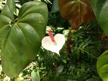 Plant, leaf, flora, flower, alismatales, arum family, pot, flowerpot. Plant is leaf, alismatales and greenhouse, nursery, glasshouse. That marvel has flora, arum stock photo