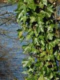 Plant, Leaf, Flora, Ivy royalty free stock image