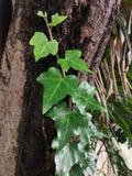 Plant, Leaf, Flora, Ivy stock image