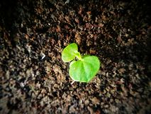 Plant. Leaf greenleaf oneplant Royalty Free Stock Photo