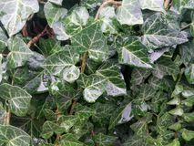 Plant, Leaf, Ivy, Ivy Family royalty free stock image