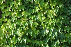 Plant, Leaf, Ivy, Tree stock images
