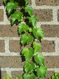 Plant, Leaf, Ivy, Tree stock photo