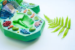 Plant leaf and model of plant cell. In laboratory Stock Images
