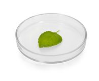 Plant leaf in Petri dish Stock Images