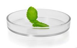 Plant leaf in Petri dish Royalty Free Stock Photos