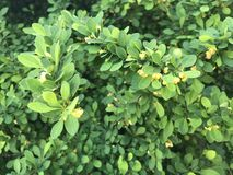 Plant, Leaf, Subshrub, Evergreen stock images