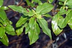 Plant, Leaf, Tree, Laurales Stock Photo