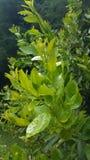 Plant, Leaf, Tree, Subshrub royalty free stock image