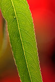 Plant leaf. Veins. Royalty Free Stock Photo