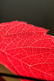 Plant leaf. Veins. Stock Photo