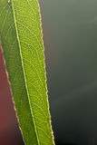 Plant leaf. Veins. Stock Photography