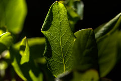 Plant leaf. Veins. Stock Image