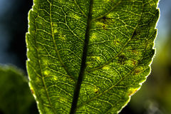 Plant leaf. Veins. Stock Images