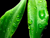 Plant leaf and water drop Royalty Free Stock Image