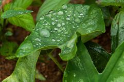 Plant Leaf with water drops. Close-up of a leaf and water drops on it background Royalty Free Stock Photography