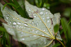 Plant Leaf with Water Drops Stock Photography