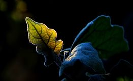 Plant leaf. Winter with frost in the leaves Royalty Free Stock Image