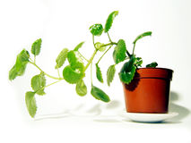 Plant with leafs. Isolated home plant Royalty Free Stock Photography