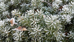 Plant with leaves covered with morning frost, Selective focus applied made some area blur Stock Images