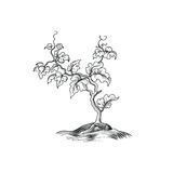 Plant with leaves engraving. Decorative grape tree growth. Bonsa Stock Photos