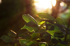 Plant leaves in the forest at sunrise Royalty Free Stock Images