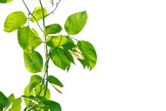 Tropical plant leaves with branches and sunlight on white isolated background for green foliage backdrop stock photos