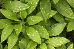 Plant Leaves & Morning Dew Stock Photography