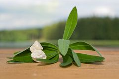 Plant leaves with stones Royalty Free Stock Image