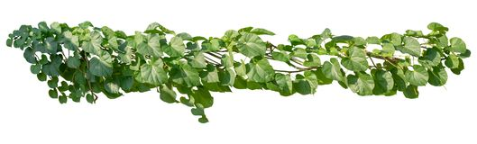 Plant leaves tropic bush foliage tree. Vine, Ivy green hang isolated on white background, clipping path stock photos
