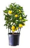 Plant of lemon in flowerpot Royalty Free Stock Photo