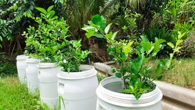 Plant lemon trees in recycle gallon bucket. This is plant lemon trees in recycle gallon bucket stock photography