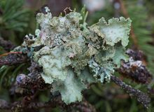 Plant lichen on tree bark stock photo