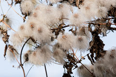 Plant life 39. Clematis seed head. White feathery seeds in warm sunlight. Fall / autumn background Stock Images