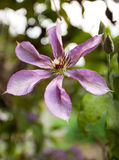 Plant Life 86. Close up of a Clematis growing over an arbour in the garden Stock Images