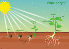 Plant life cycle. Vector design Stock Photo