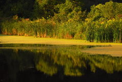Plant Life At Pond`s Edge. Reflection of plants in a pond Royalty Free Stock Photos