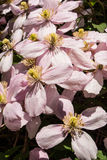 Plant life 83. Possibly Clematis Montana 'Rubens'  growing over an arbour in the garden. Close up of the pink flowers with yellow centre / center Stock Photos
