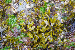 Plant life on rocks near Pacific Ocean. Plant life on rocks near ocean Stock Images