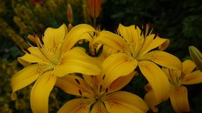 Plant Lilium bulbiferum details close-up HD footage - Herbaceous lily flower video. Yellow plant Lilium bulbiferum details close-up HD footage - Herbaceous lily stock footage